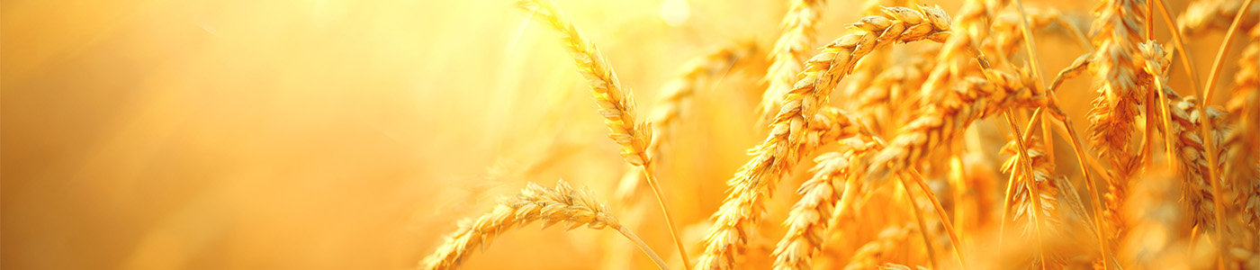 image: harvest wheat at sunset